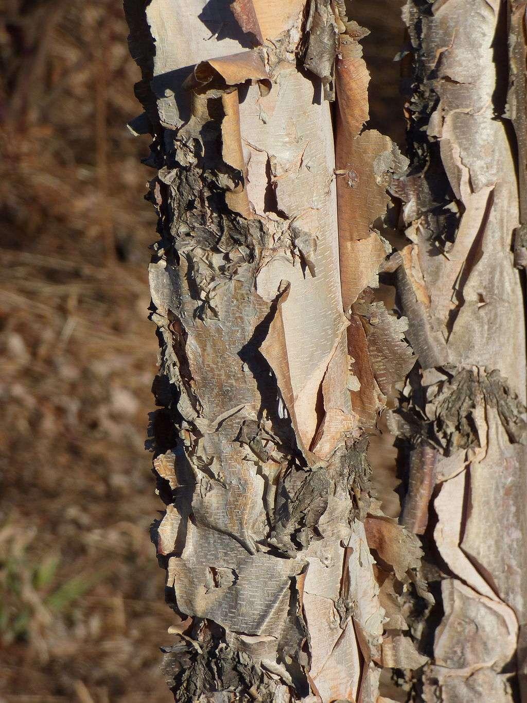 river birch tree close up on bark