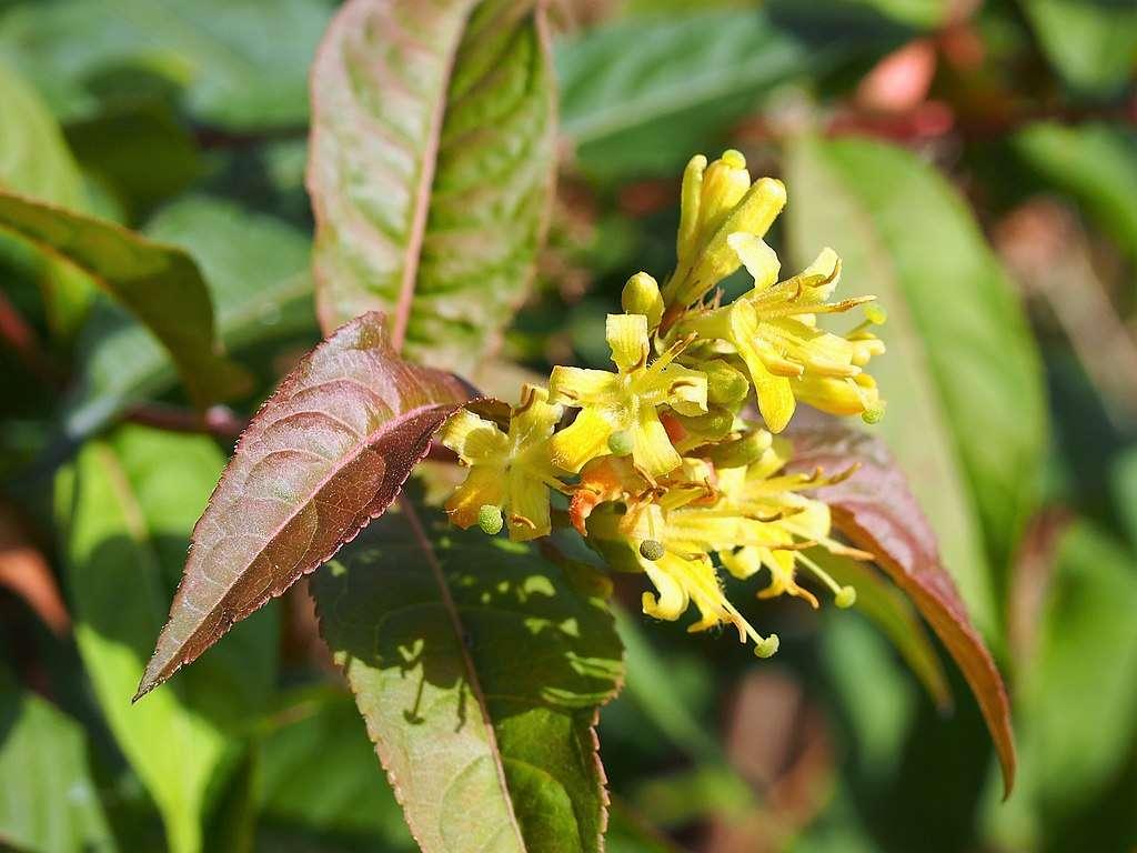 Bush Honeysuckle native planting in Chicago