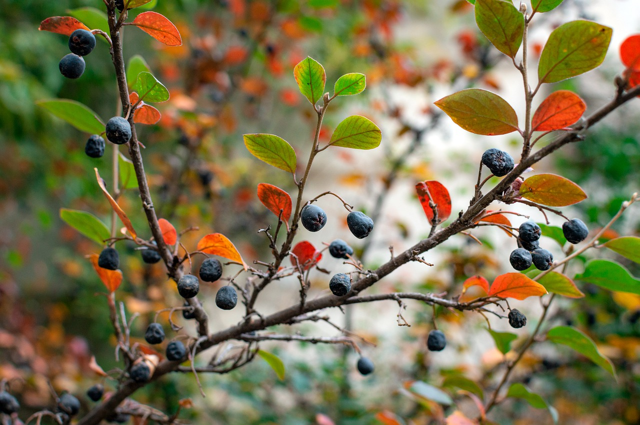 chokeberry native planting in Illinois