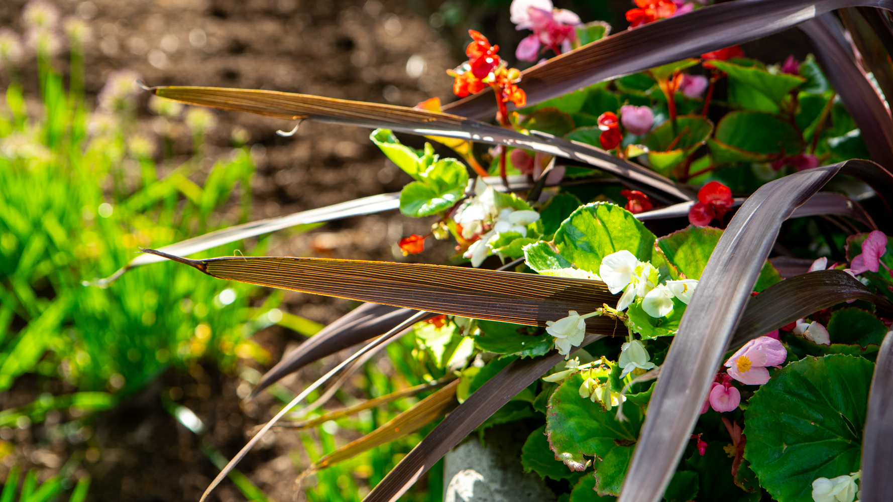 plants-planting-container-begonia-cordyline